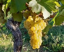 chardonnay du vin paillé