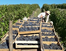 vendanges vin paill�